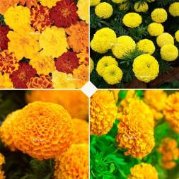 Marigold Combo Pack (4 Types of Seeds)