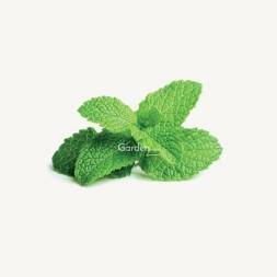 Pudina / Mint Seeds (100+ Pcs)