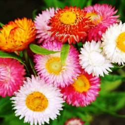 Helichrysum Flower Seeds