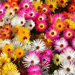 Ice Plant Flower Seeds