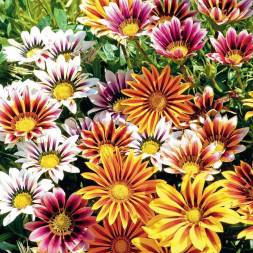 Gazania Flower Seeds
