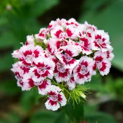 Dianthus Flower Seeds