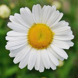 Daisy Flower Seeds